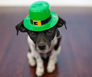 Cute St Patrick's Day Dog